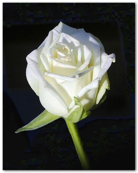 roseblanche.jpg